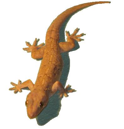 House Lizard PNG - 45570