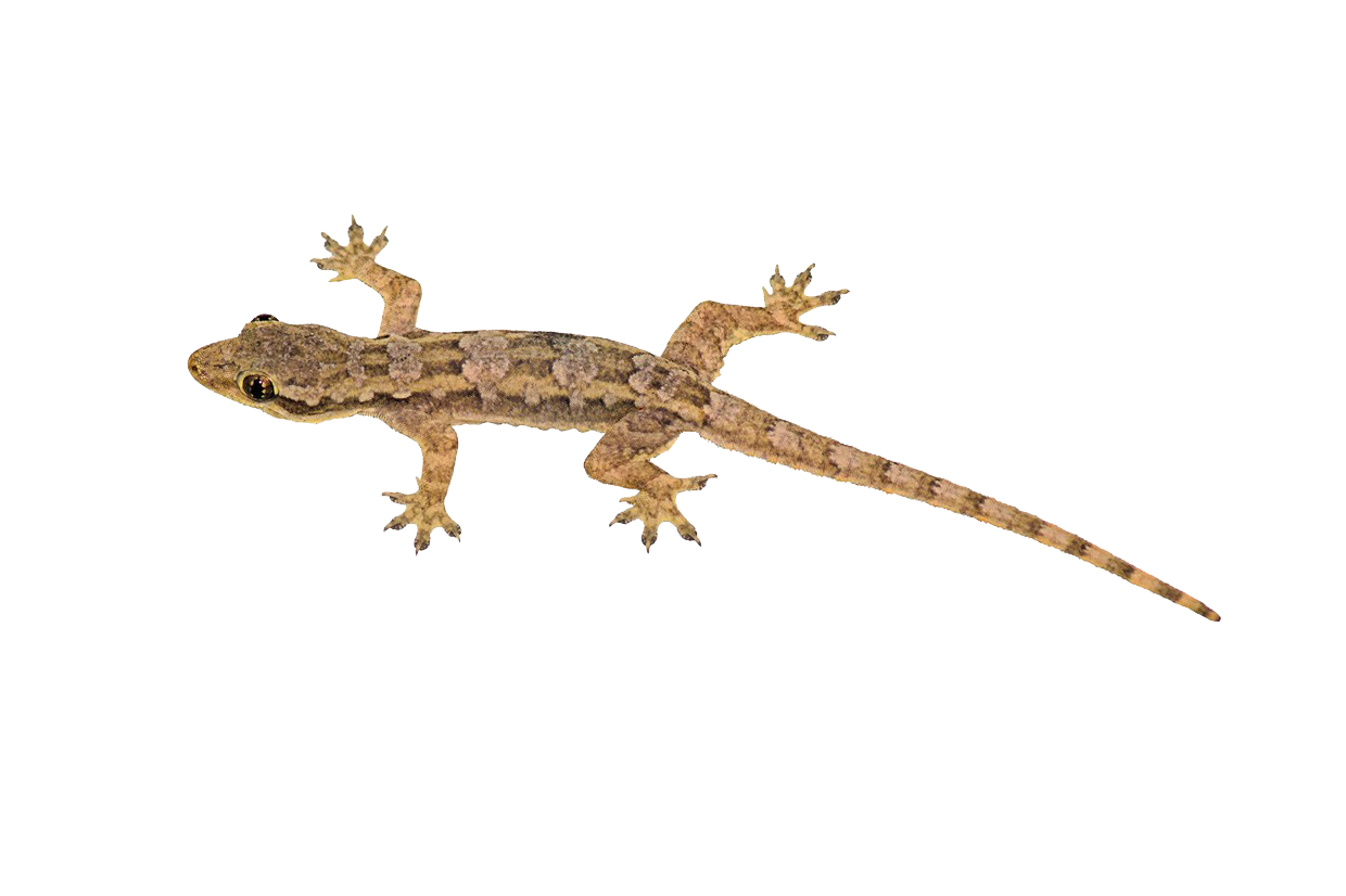 House Lizard PNG