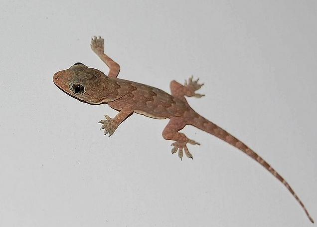 House Lizard PNG - 45582