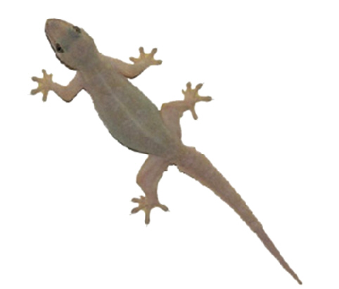 House Lizard PNG - 45569