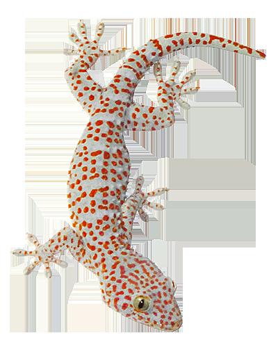House Lizard PNG - 45581
