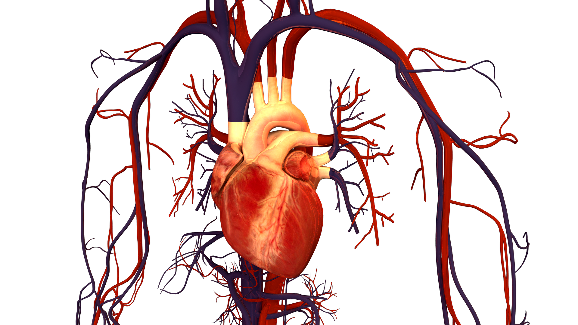 File:Human Heart and Circulatory System.png - Wikimedia Commons - Human Figure PNG HD