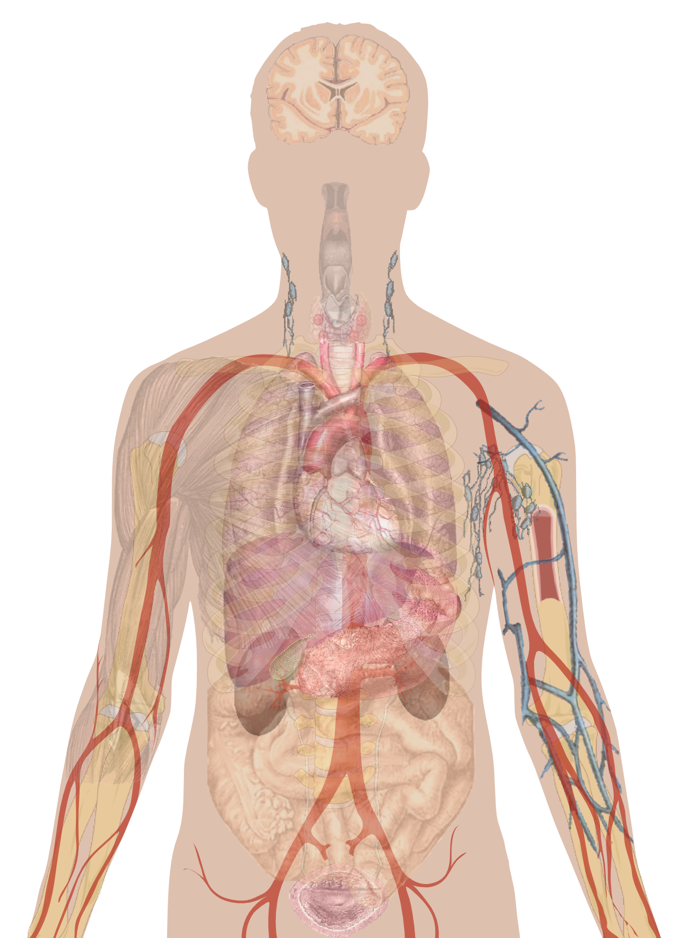 Man shadow with organs.png - Human Figure PNG HD