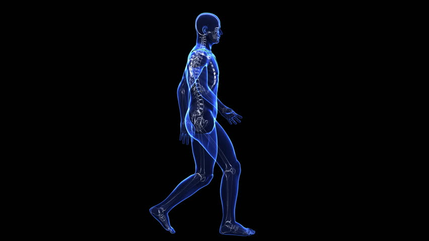 The contours of the human skin and skeleton Lateral view of figure (in a  loop - Human Figure PNG HD