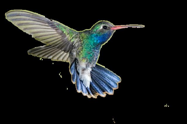 png 640x426 Hummingbird trans