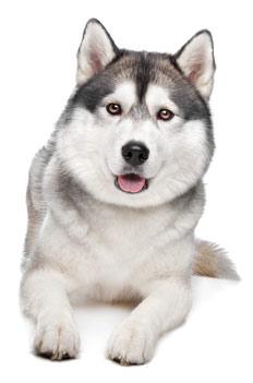 Husky Dog PNG HD - 130222