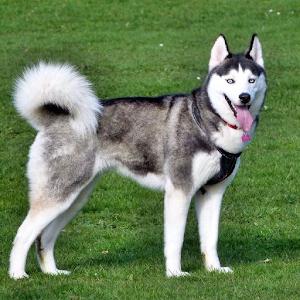 Husky Dog PNG HD - 130237