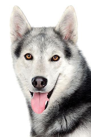 Husky Dog PNG HD - 130224