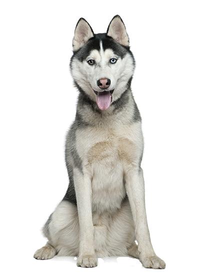 Husky Dog PNG HD - 130225