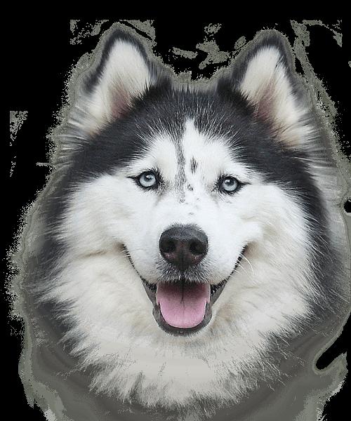Husky Dog PNG HD - 130226