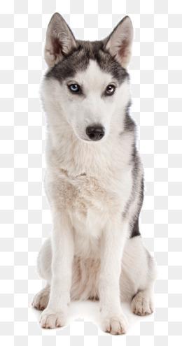 Husky Dog PNG HD - 130235