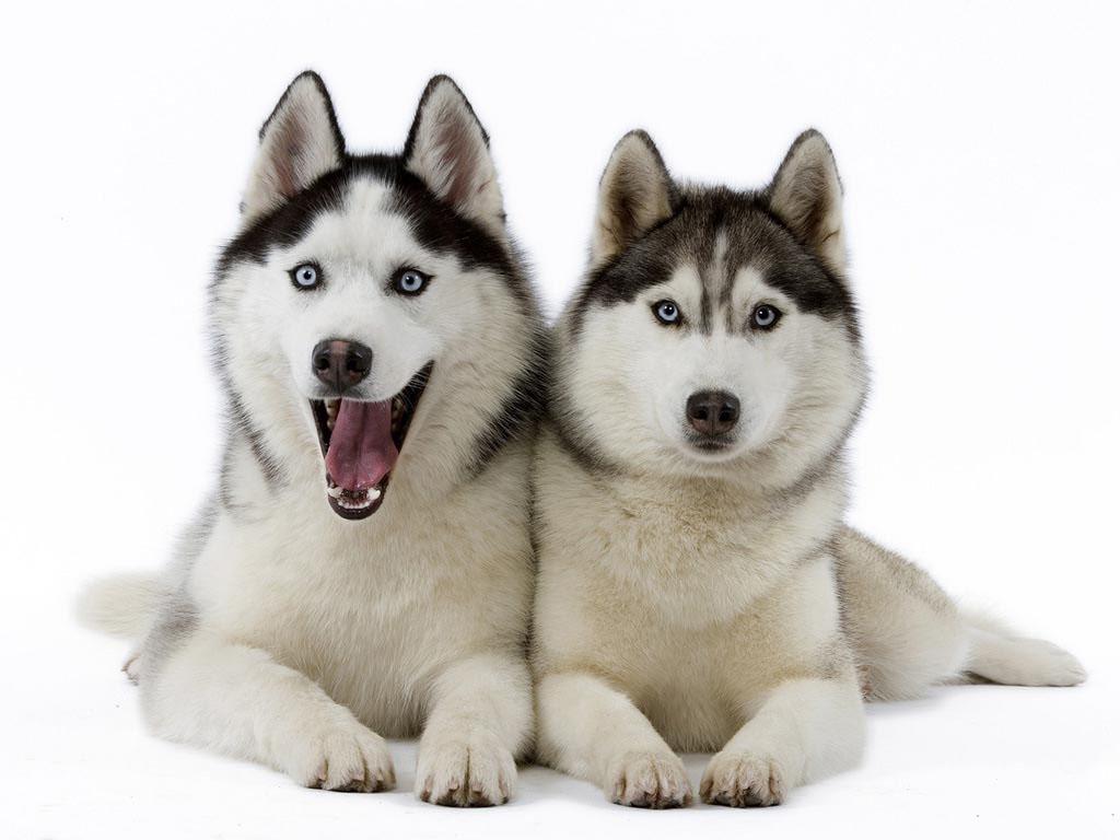 Husky Dog PNG HD - 130232