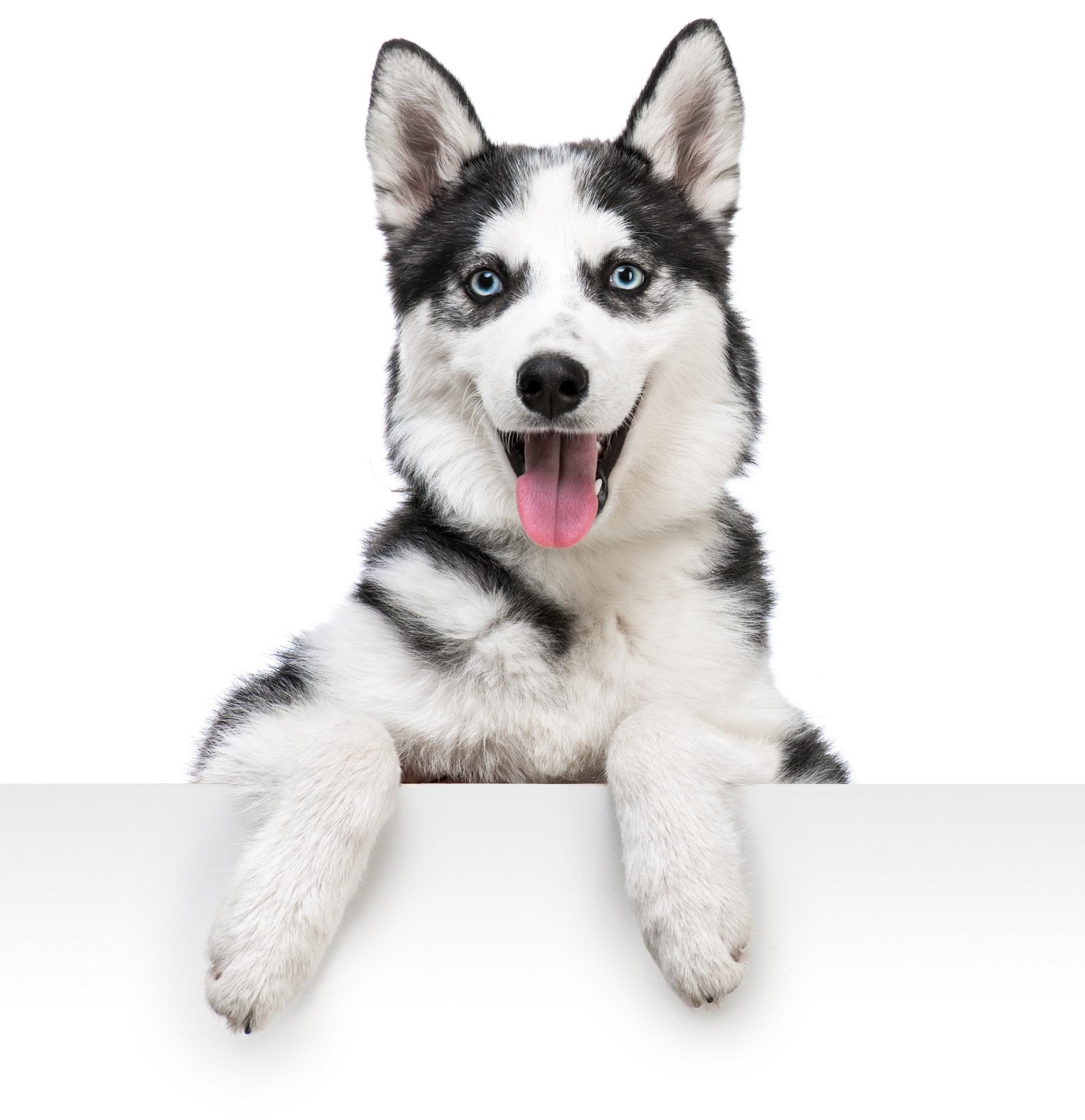 Husky Dog PNG HD - 130223