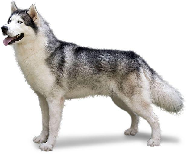Husky Dog PNG HD - 130230