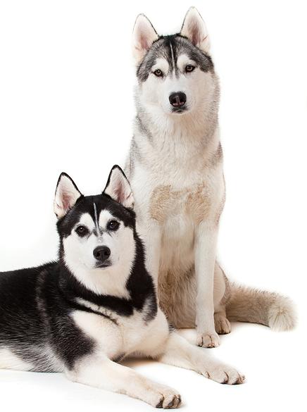 Husky Dog PNG HD - 130231