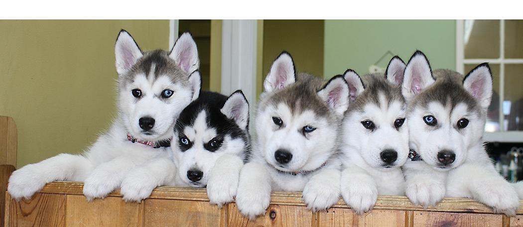 Husky Dog PNG HD - 130234