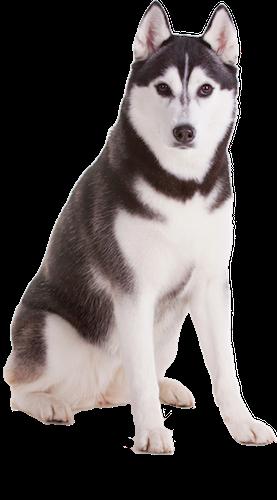 Husky Dog PNG HD