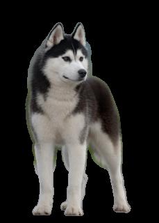 Husky PNG - 25550