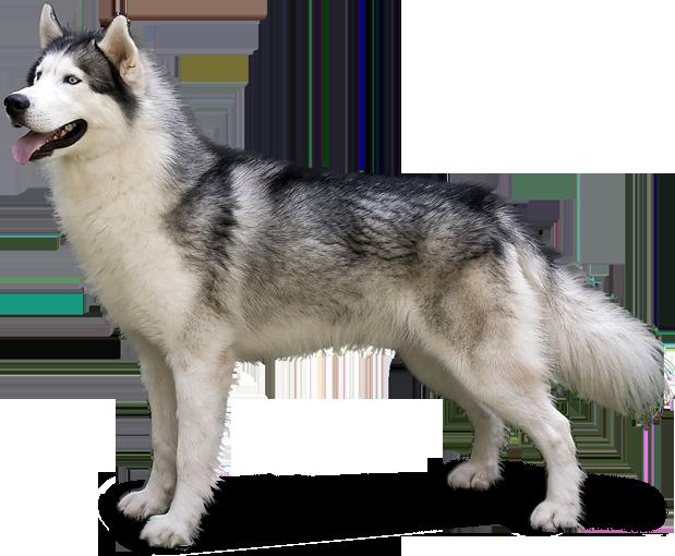 Husky PNG - 25557