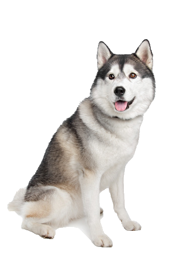 Siberian Husky - Beds, Collars and Accessories - Husky PNG