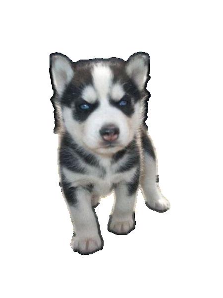 Husky PNG - 25563