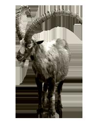 $30,000. Siberian Ibex - Ibex PNG