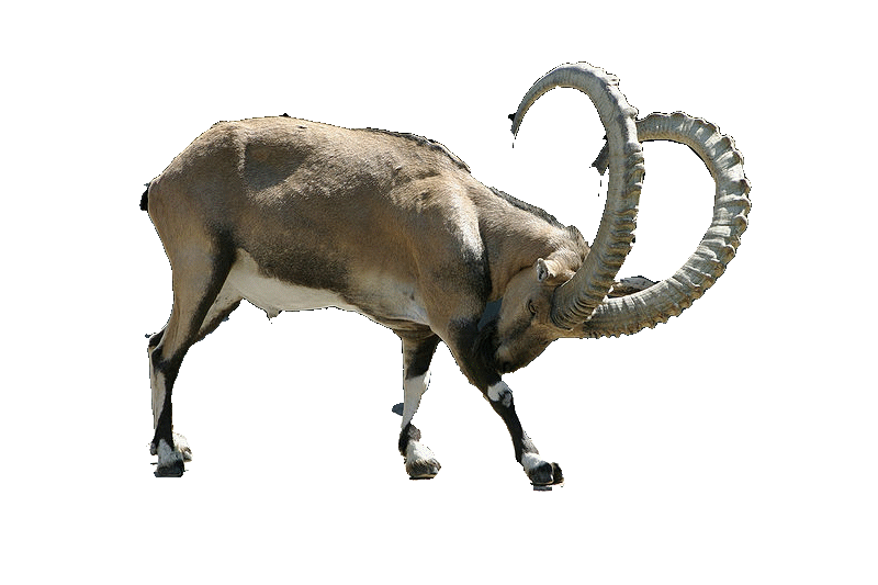 File:Capra ibex ibex.png - Ibex PNG