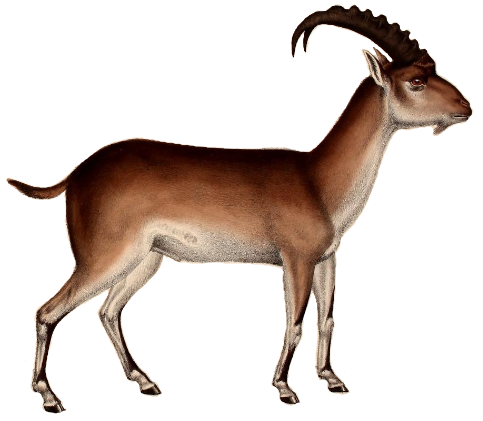 File:Walia ibex illustration white background.png - Ibex PNG