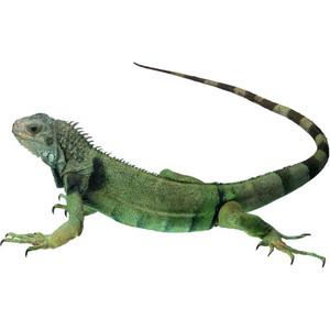 Iguana PNG - 23364