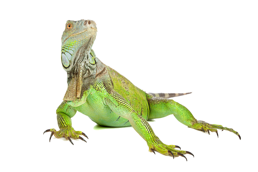 Iguana PNG - 23353