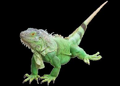 Iguana PNG - 23360