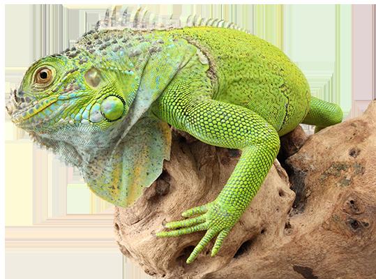 Iguana PNG - 23367