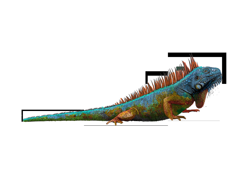 Iguana PNG - 23359