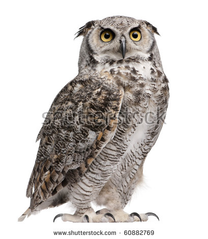 Great Horned Owl, Bubo Virginianus Subarcticus, in front of white background - Images Owls PNG HD