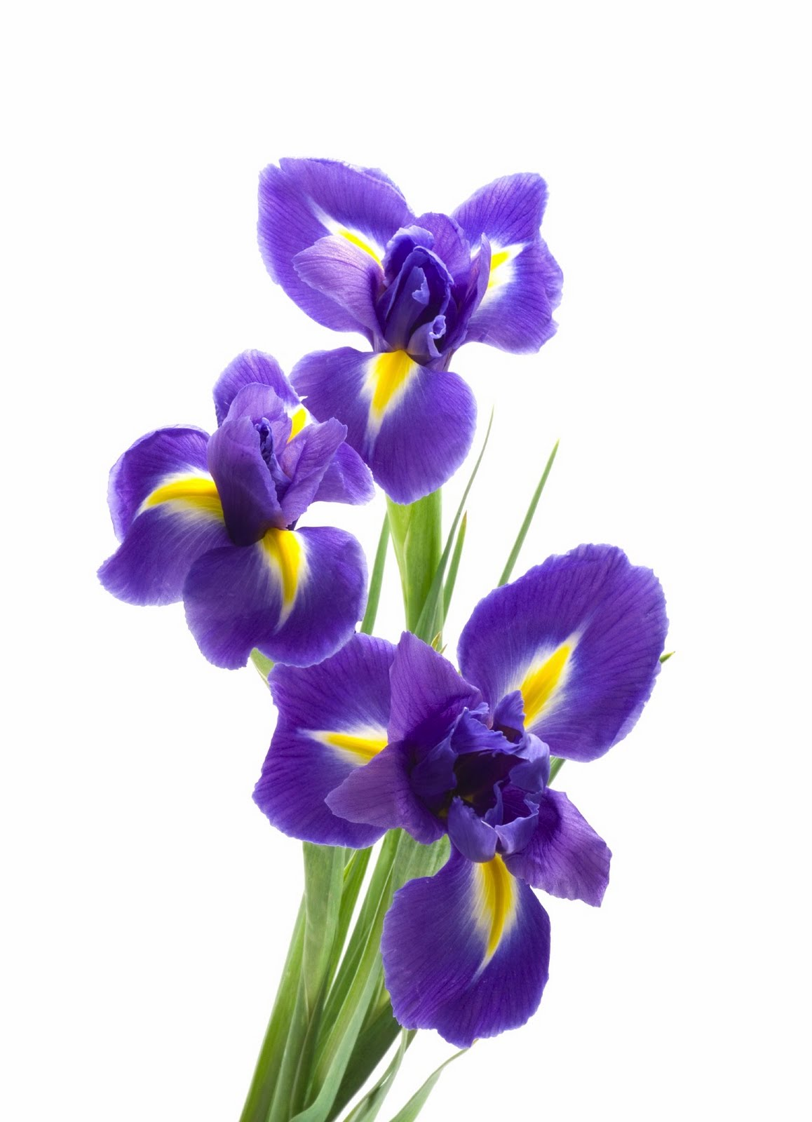 Iris Flower Png Hd Transparent Iris Flower Hdg Images Pluspng