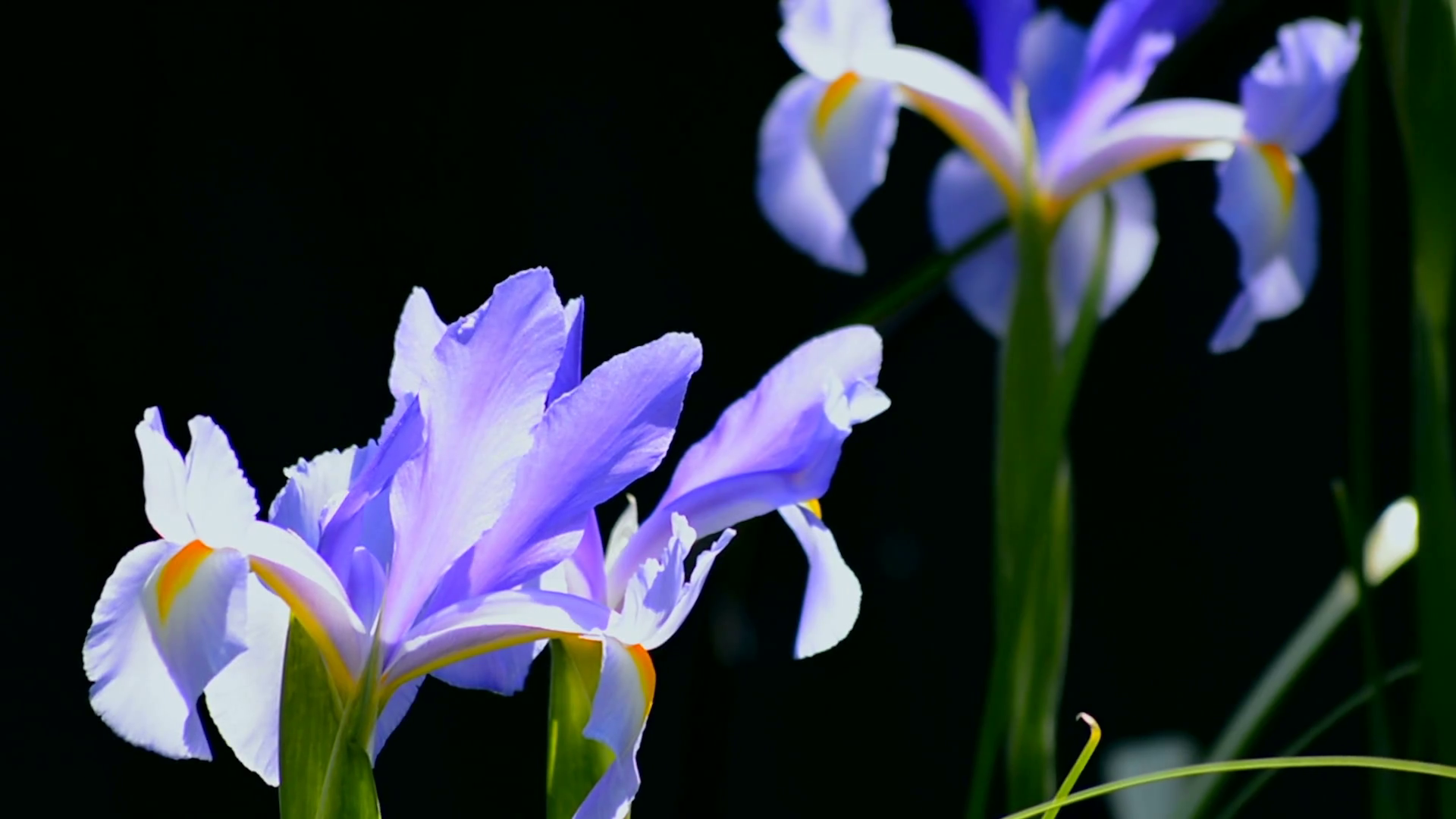 Iris Flower Png Hd Transparent Iris Flower Hdg Images Pluspng