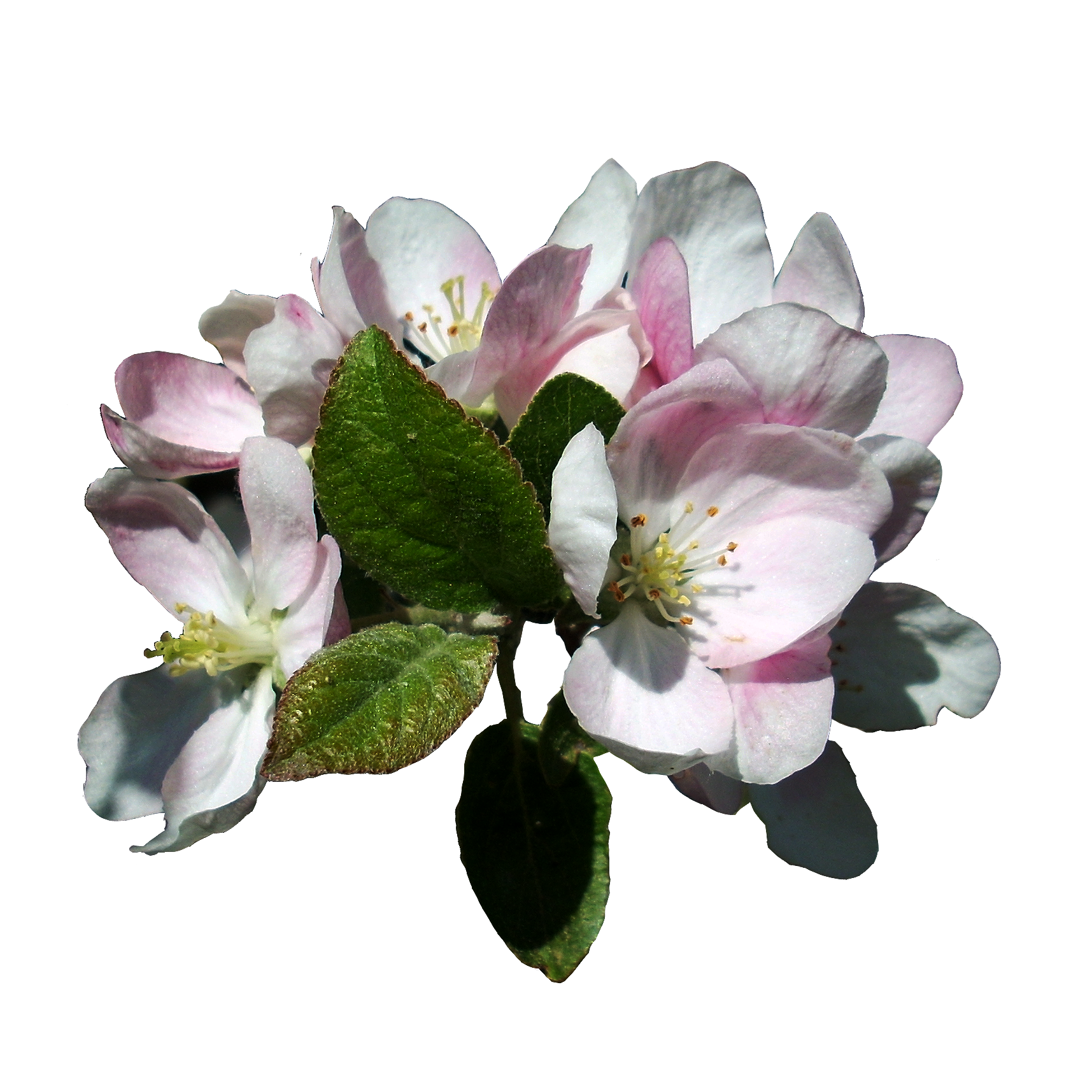 . PlusPng.com Apple Blossoms 3 Stock, Isolated PNG by vashadaiisha - Isolated PNG