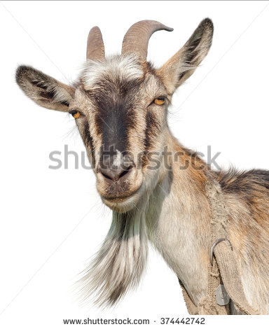 Goat isolated on a white background. Transparent PNG file available - Isolated PNG