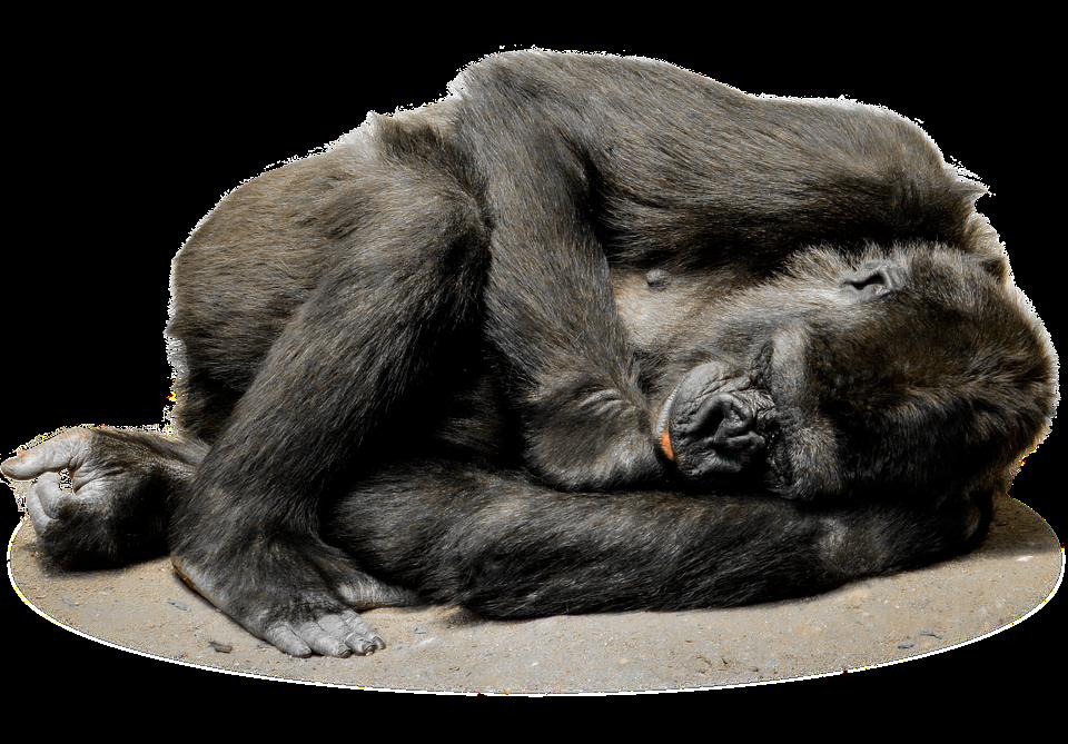 isolated gorilla monkey face zoo mammal animal - Isolated PNG