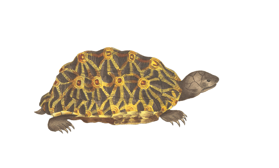 Turtle, Animal, Reptile, Vintage, Isolated, Png - Isolated PNG
