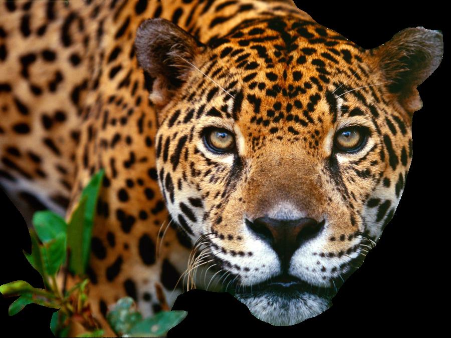 Jaguar PNG Image - Jaguar HD PNG