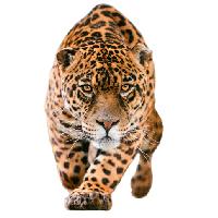 Jaguar Png Pic PNG Image - Jaguar HD PNG