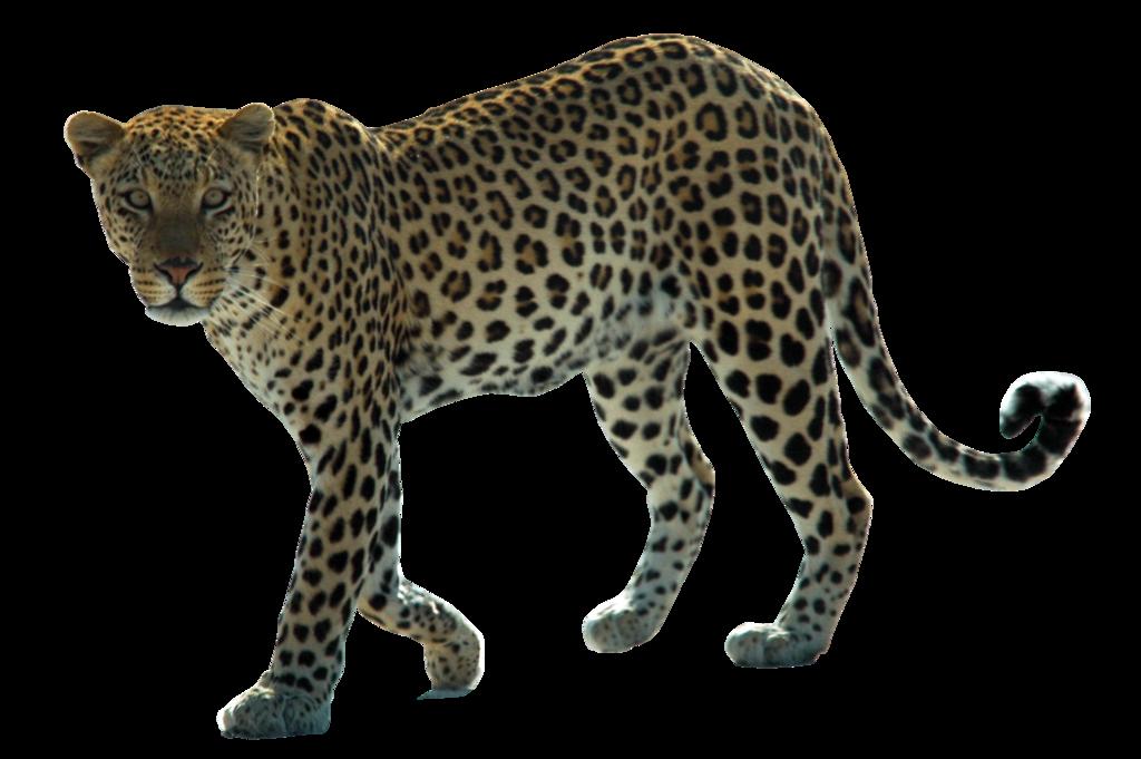 Leopard Png Hd PNG Image - Jaguar HD PNG