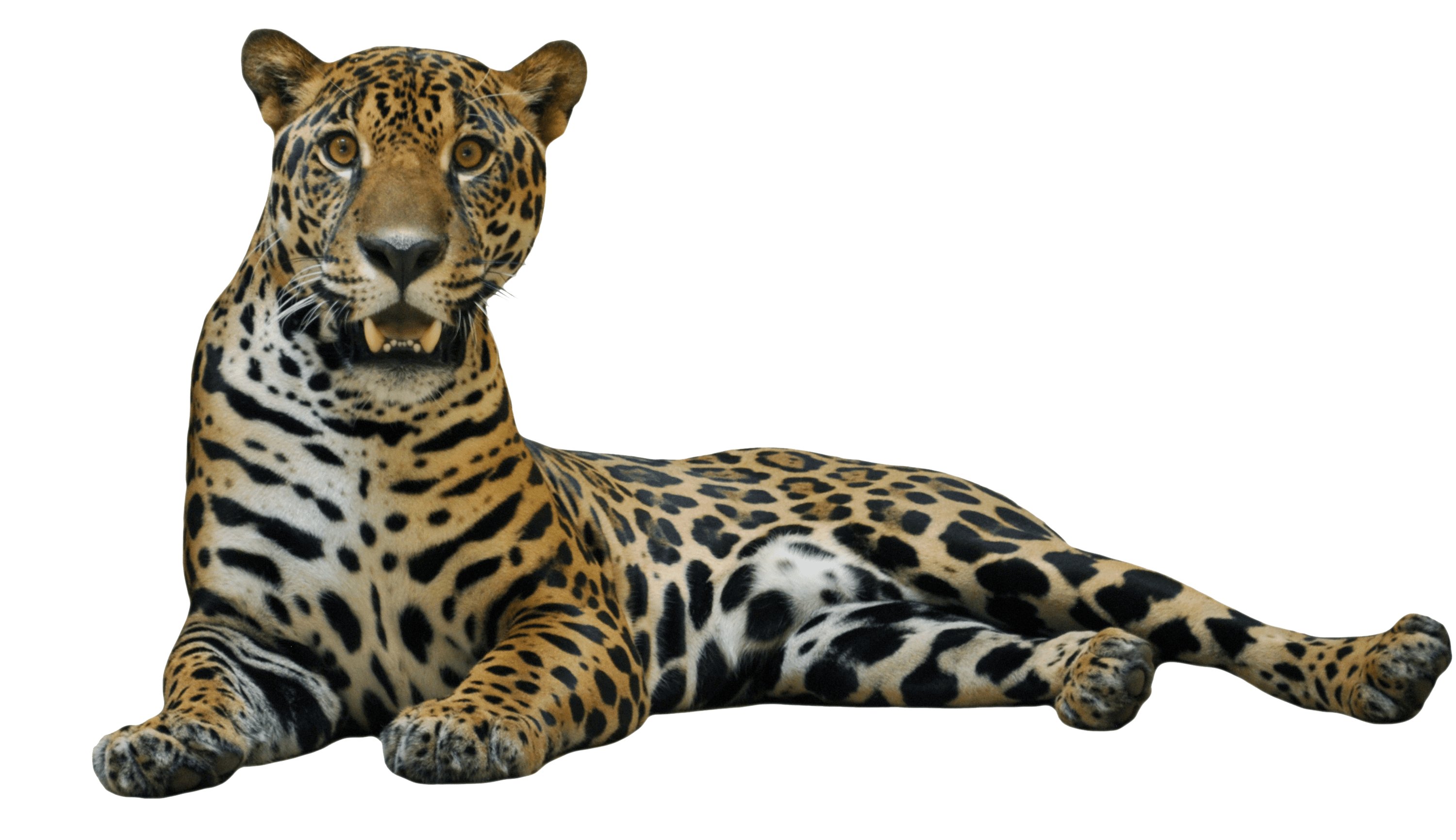 Download · animals · jaguars - Jaguar PNG