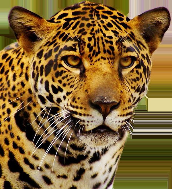 Jaguar PNG - 99552