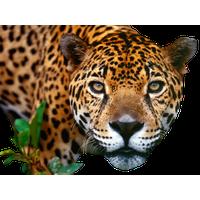 Jaguar PNG - 99555