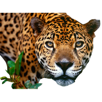 Jaguar Png Image PNG Image - Jaguar PNG