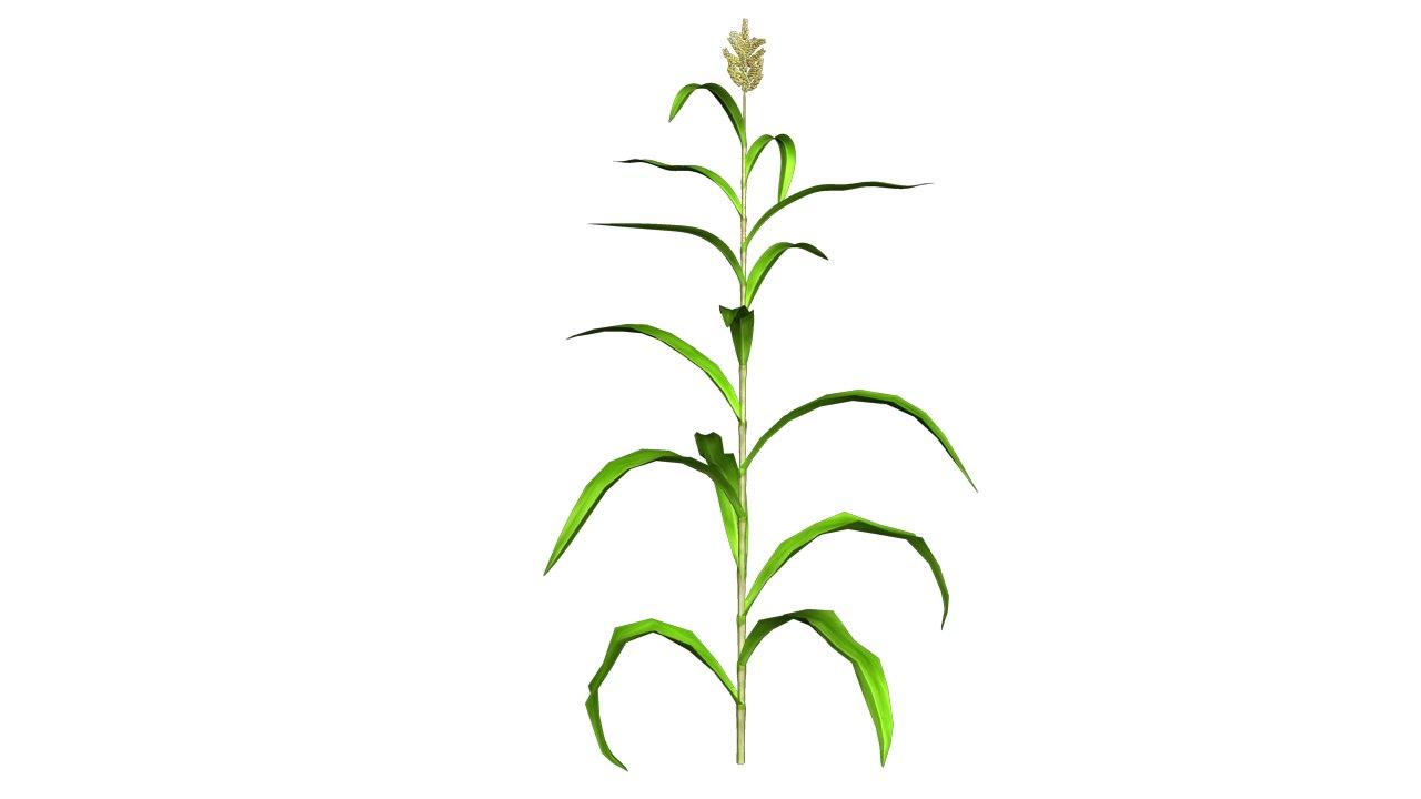 Jowar Plant PNG-PlusPNG.com-1280 - Jowar Plant PNG