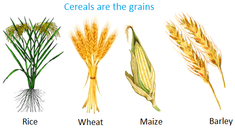 Cereals are the Grains - Jowar Plant PNG