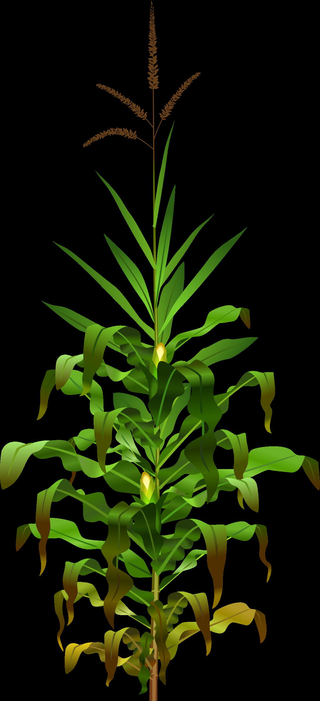 Clipart - Jowar Plant PNG